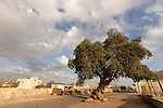Beth El Mountains, Kermes Oak (Quercus calliprinos) in Yabrud