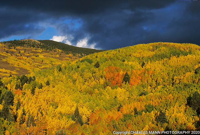 Aspenswith their colorful fall leaves  light up the Sangre de Cristo mountinas near the ski basin in Santa Fe, New Mexico in September and October.