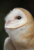 Coruja Suindara Tyto Furcata