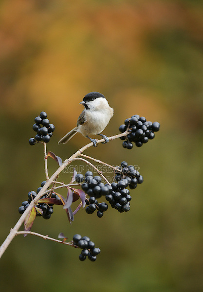 Marsh Tit (Poecile palustris), adult perched on berry laden branch of common privet (Ligustrum vulgare), Oberaegeri, Switzerland, Europe
