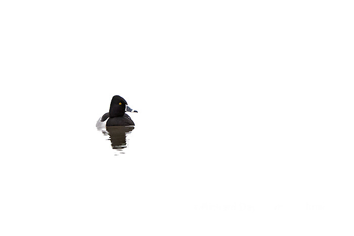 00742-00208 Ring-necked Duck (Aythya collaris) in wetland, Marion Co., IL