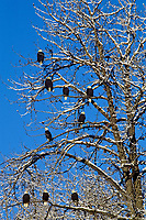 Bald Eagles resting in snow flocked tree.