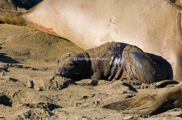 A newborn Northern Elephant Seal (Mirounga angustirostris) with the amnion still draped over it, examines its surroundings for the first time; Central California