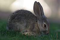 Up close a young Desert Cottontail seen on the grass in my own back yard.