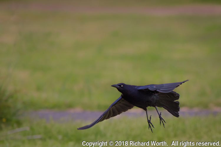 Spread feet and wide winges, a Great-tailed grackle flies across a verdant background.
