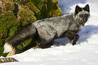 Silver Fox walking through some snow - CA