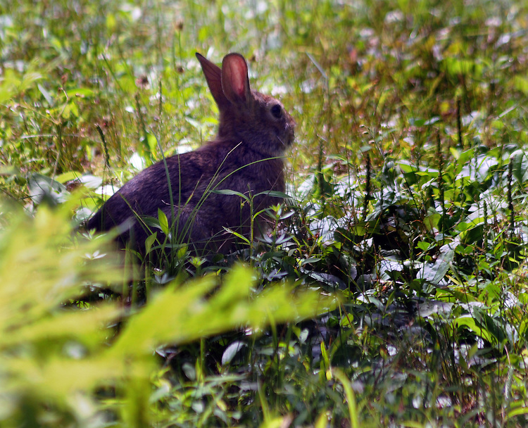 Rabbit seen in the Esopus Bend Nature Preserve in Saugerties, NY, on Monday, July 11, 2016. Photo by Jim Peppler. Copyright Jim Peppler 2016. x