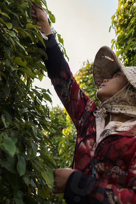February 1st, 2015 - Kampot (Cambodia). A woman collects green peppers from a plant. © Thomas Cristofoletti / Ruom
