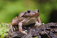 Eastern Barking Frog, Eleutherodactylus augusti latrans, adult at natural spring with fern, Uvalde County, Hill Country, Texas, USA