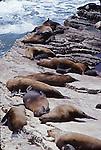 Steller sea lions on Ano Nuevo Island