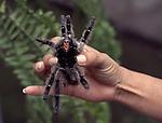 tarantula in hand