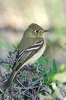 Pacific-slope Flycatcher - Empidonax difficilis