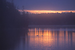 Dawn brightens a new day on the Yellowstone River while rising fog reveals a pair of American white pelicans already settled on the water's surface where they will float and fish all day long.