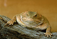 Humorous portrait of a Short-horned lizard (Phrynosoma douglassi - family Iguanid) as is poses draped over a log. Arizona.