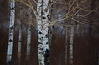 Aspen Forest in Riding Mountain Nature Reserve