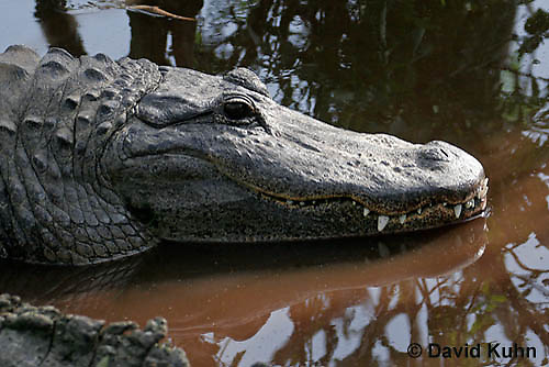 0709-0803  American Alligator - Alligator mississippiensis  © David Kuhn/Dwight Kuhn Photography