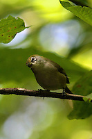 Christmas Island White-Eye, Christmas Island, Indian Ocean