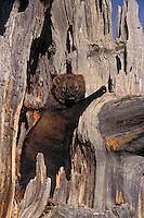 FISHER agile climbers, use tree holes for dens..Autumn. Rocky Mountains..(Martes pennanti).