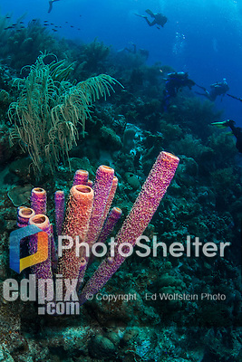 26 January 2016:  A cluster of Purple Tube Sponges (Aplysina lacunosa) are observed at Monk's Haven Reef on Klein Bonaire. Klein Bonaire (Small Bonaire) is an uninhabited island off the west coast of Bonaire in the Dutch Caribbean. Bonaire is known for its pioneering role in the preservation of the marine environment. A part of the Netherland Caribbean Islands, Bonaire is located off the coast of Venezuela and offers excellent scuba diving, snorkeling and windsurfing.  Mandatory Credit: Ed Wolfstein Photo *** RAW (NEF) Image File Available ***
