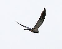 Adult Mississippi kite