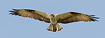 Osprey.Pandion haliaetus.in flight at the Sepulveda Wildlife Area.Los Angeles, Ca. October 14, 2010. © Fitzroy Barrett