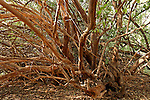 Salvadora Persica tree (Toothbrush tree, Mustard tree) in the Jordan Valley<br />