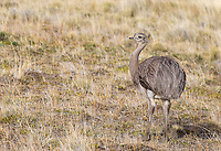 A subadult rhea wanders the steppe near Torres del Paine.