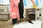 Employees and volunteers have taken on the task of caring for more than 100 rescued sea lion pups at the Pacific Marine Mammal Center in Laguna Beach, California. Asheley Simpson, a licensed vet tech visiting from Maine lets a 23 pound sea lion pup that was just brought in from a rescue mission out of a cage on February 25, 2015.