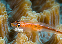 Michel's Ghostgoby or Coral Goby, Pleurosicya micheli, with unidentified parasite and eggs attached to its head, Komodo National Park, Lesser Sunda Islands, Indonesia, Pacific Ocean