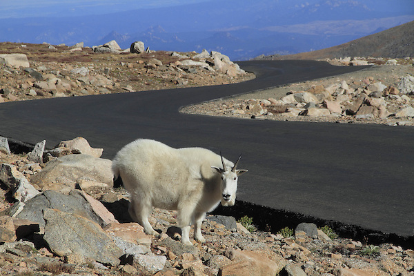 Mountain Goat, on the Mount Evans Road (14250 feet).<br />