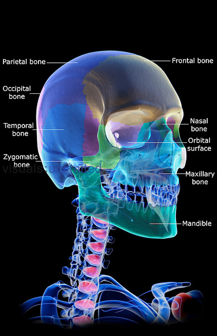 An anterolateral view (right side) of the bones of the skull. Individual bones are coloured. Royalty Free