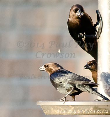Brown-headed Cowbirds at feeder