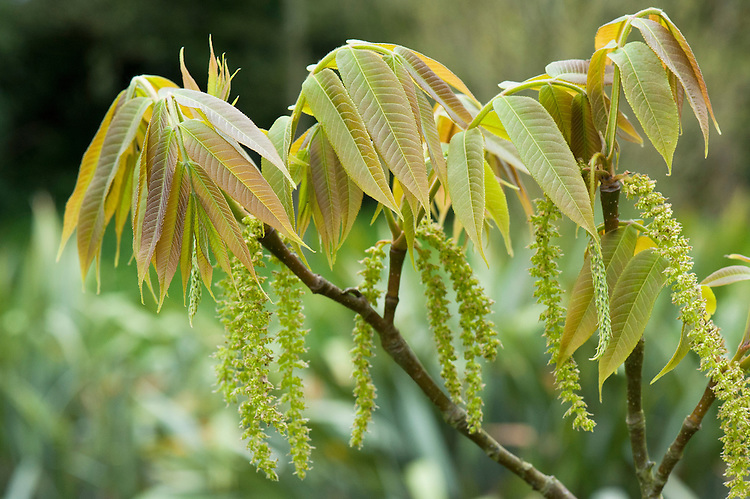 New spring foliage and flowers of wing-nut tree (Pterocarya insignis), mid April.