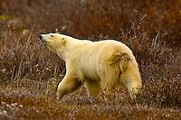 A polar bear on the tundra along Hudson Bay near Churchill, Manitoba, Canada