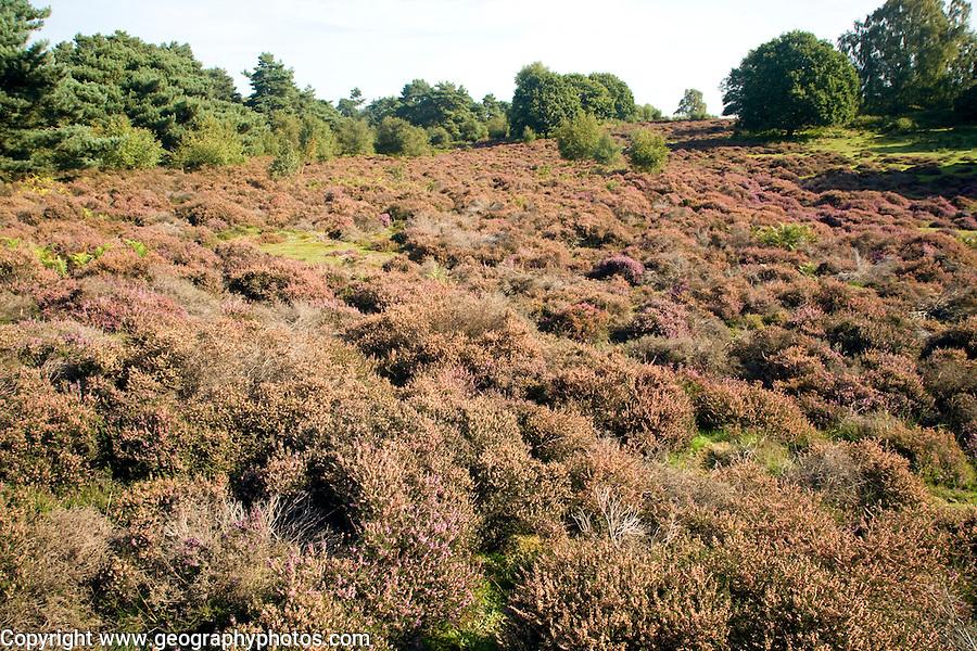 Heathland heather vegetation, Sandlings, Shottisham, Suffolk, England
