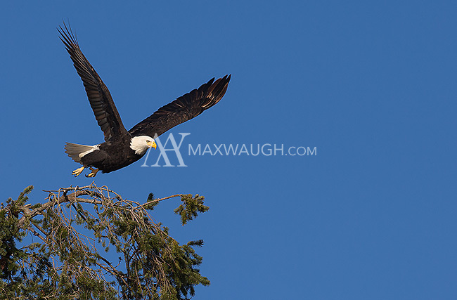 A bald eagle takes off from a tree at Reifel Bird Sanctuary.