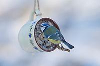 Blaumeise, selbstgemachtes Vogelfutter in einer Tasse, Vogelfütterung, Fütterung, Fettfuttermischung, Fettfutter, Meisenknödel, Blau-Meise, Meise, Meisen, Cyanistes caeruleus, Parus caeruleus, blue tit, bird's feeding, La Mésange bleue