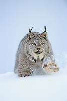 Canadian Lynx (Lynx canadensis) walking through deep powder snow in late evening.  Notice the large size of its paws that act like snowshoes in the soft snow.