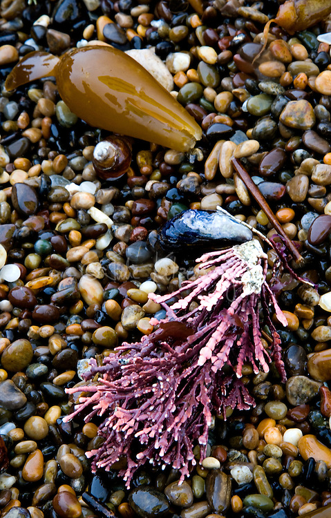 Fine art nature abstract of beach pebbles, kelp bulb and purple seaweed, glistening with moisture from recent rainfall.