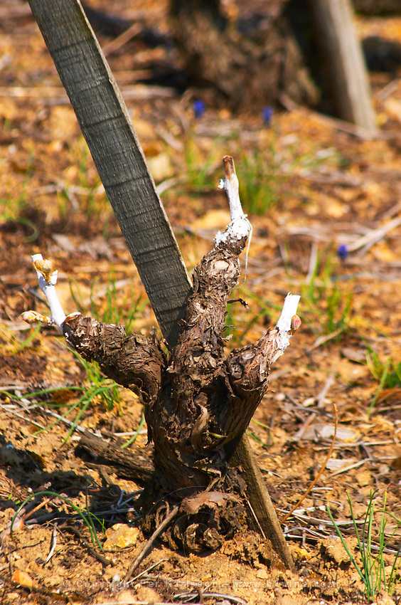A Syrah vine after winter pruning in spring. Painted on the cut surfaces with white 'paint' to disinfect and avoid getting diseases. Ampuis, Cote Rotie, Rhone, France, Europe