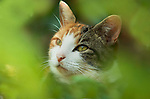 Tortoiseshell and white cat, sitting in garden, soft green focus, hiding in bushes, Fudge