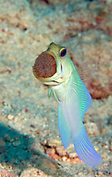 Yellowhead Jawfish with egg mass in Cayman Brac, Cayman Islands