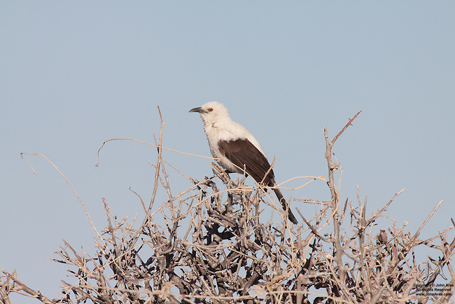 Southern pied babbler in a tree in Etosha National Park, Namibia