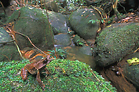 Long-nosed Horned Frog (Megophrys nasuta), adult sitting on rock along stream, Gunung Gading National Park, Sarawak, Borneo, Malaysia
