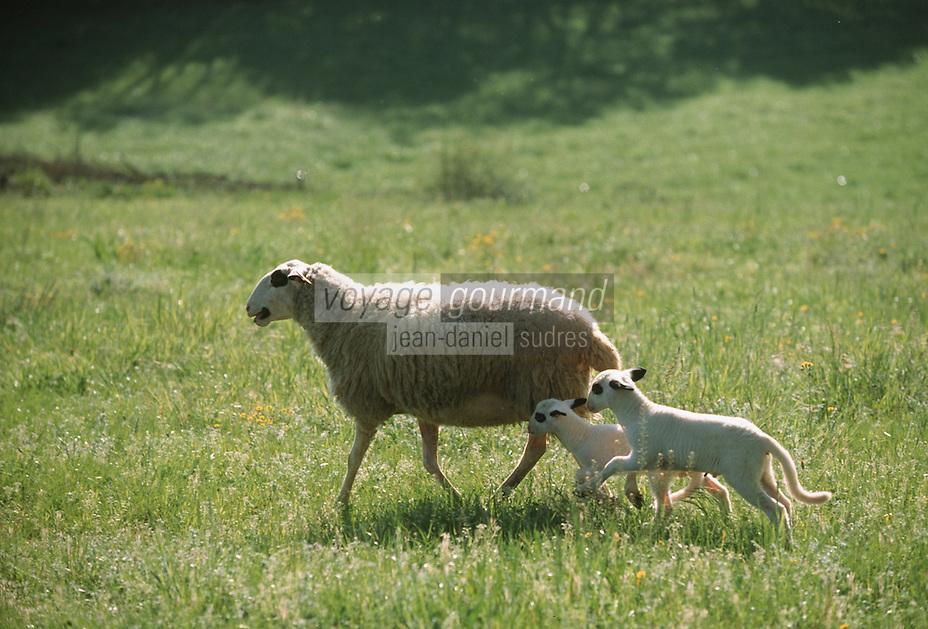 Europe/France/Midi-Pyrénées/46/Lot/Env de Baladou: Agneaux fermiers du Quercy Label Rouge de Thierry Lacroix éleveur