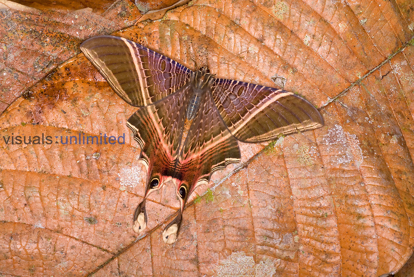 Moth (Nothus lunus) protectively colored on a dead leaf.