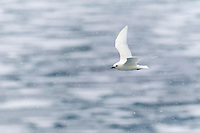 Ivory gull in arctic Svalbard