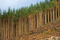 Tall European Larch trees, Larix decidua, cultivated in coniferous forest plantation for logging timber production in the Brecon Beacons, Wales, UK