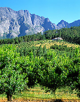 South Africa, near Cape Town, Winelands Franschhoek valley: peach- and olive-trees