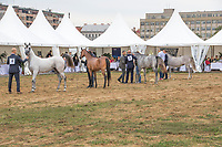 Yearlings Fillies line up for the judges, at the international arabian horse show september 2017.